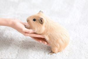 Cute baby guinea pig on a white cage liner