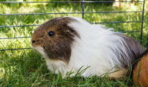 Guinea pig living outside in an outdoor hutch