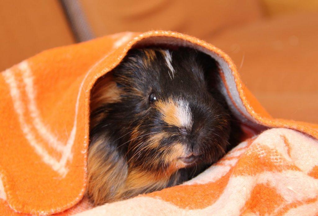 Cute guinea pig hiding beneath an orange fleece liner