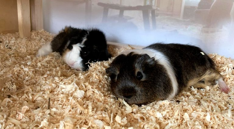 A male and a female guinea pig laying next to each other