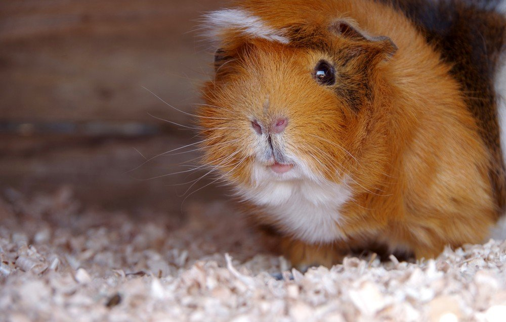 Orange guinea pig looking from inside a hiding place