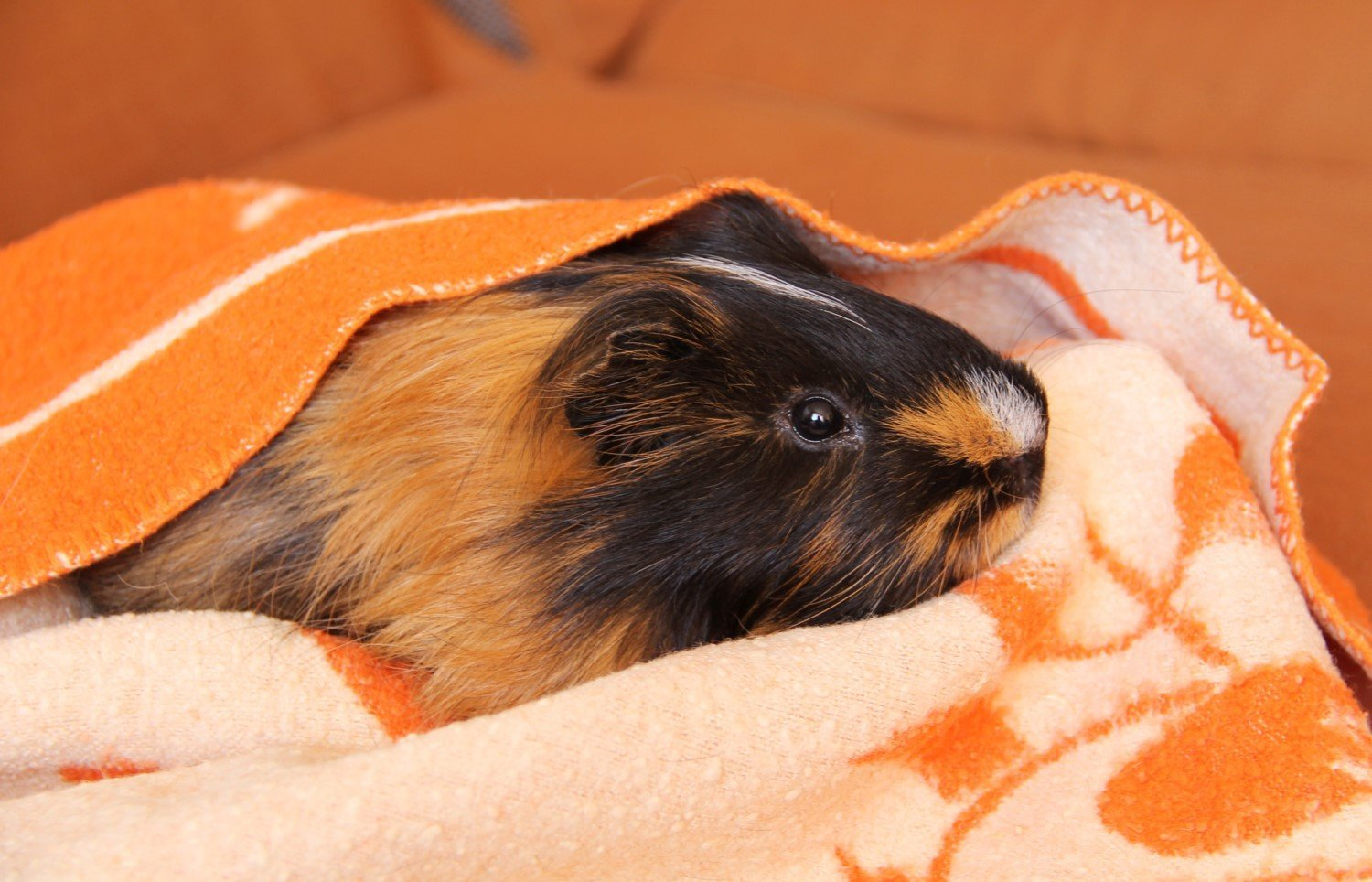 Cute relaxed guinea pig beneath a fleece liner