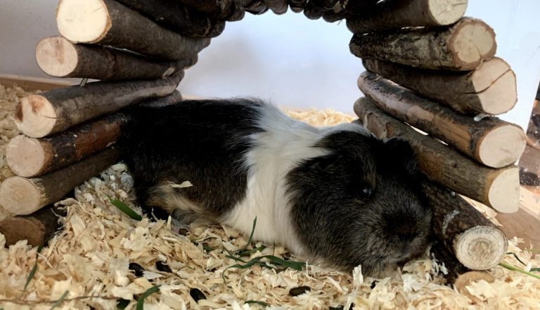 Guinea pig relaxing before falling to sleep