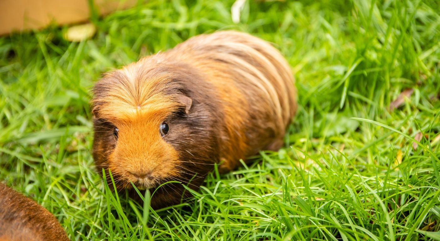 Brown-orange guinea pig eating grass outside