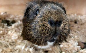 Curious and playful guinea pig