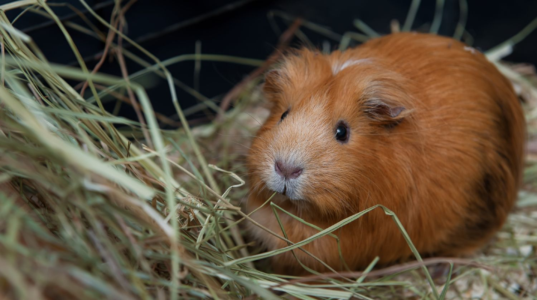 Happy orange guinea pig eating hay