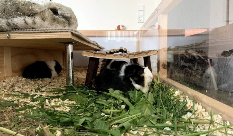 Guinea pigs eating forage in a large homebuilt cage