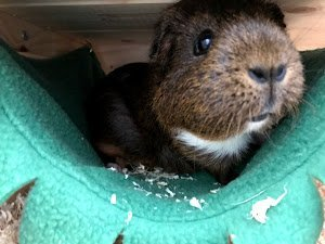 Curious female guinea pig sticking her nose out to check for food