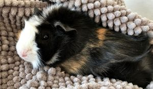 Relaxed guinea pig being taken well care of