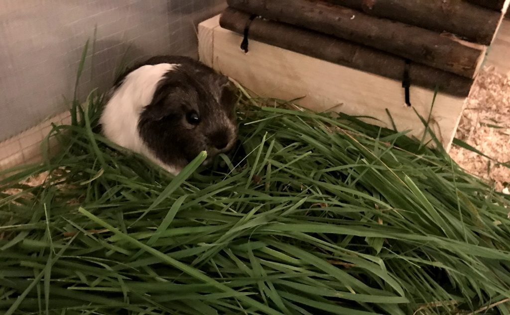 Guinea pig sitting in a pile of grass while eating it