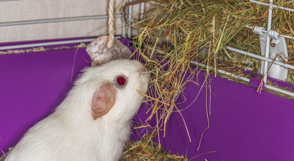 White guinea pig eating hay from a hay rack