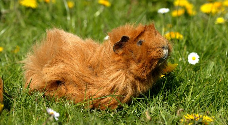Cute orange guinea pig sitting on a lawn while eating the grass