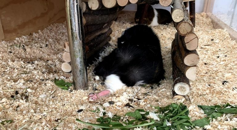 Male guinea pig relaxing and seen from behind