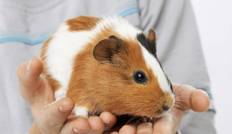 White-orange guinea pig sitting on a hand while considering whether it should bite the hand or not