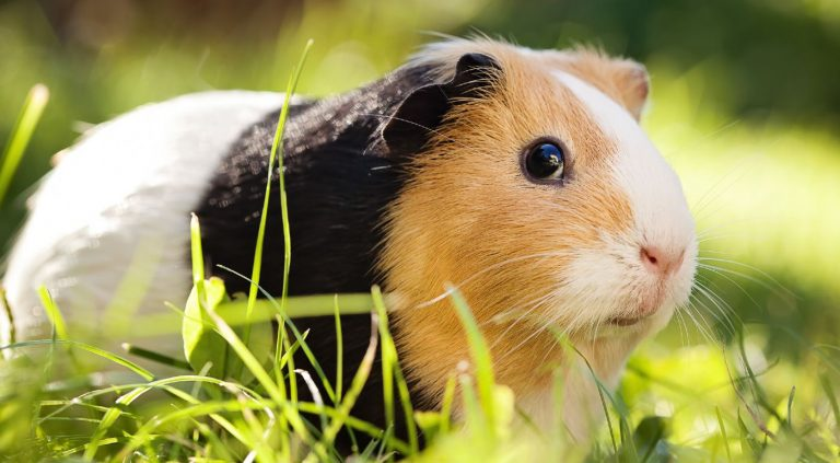 Tri-colored guinea pig watching you