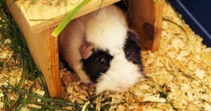 White-black guinea pig crawling through a tunnel while eating