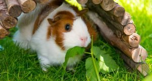 White and orange colored guinea pig living outside and eating fresh forage