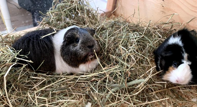 Male and female guinea pigs sitting in a pile of hay while eating