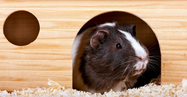 Guinea pig peeking out from inside of a house