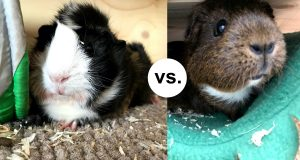 Male and female guinea pig side by side