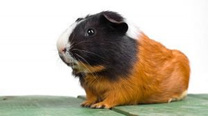 Cute guinea pig with newly clipped nails
