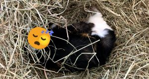 Male tri-colored guinea pig sleeping in hay pile