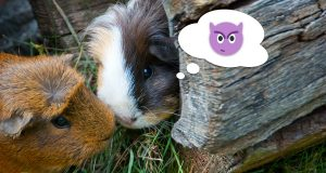 Two cute guinea pigs greeting each other with a nose kiss