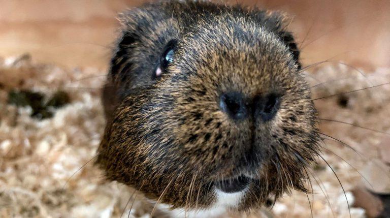 Confident guinea pig approaching camera