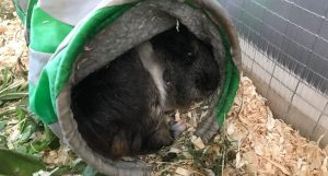 Cute guinea pig hiding in a tunnel in a funny way