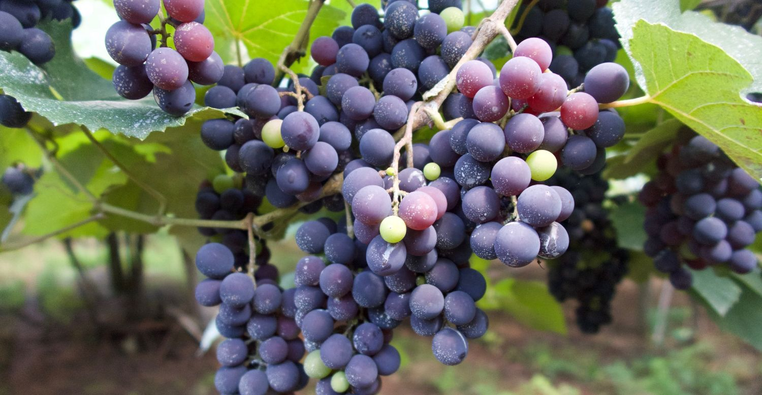Fresh red grapes in clusters hanging from a tree