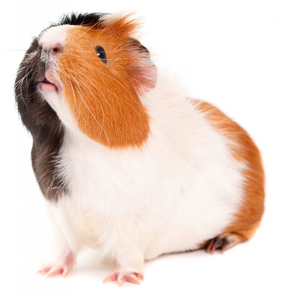 Cute white-orange-black guinea pig raising its head